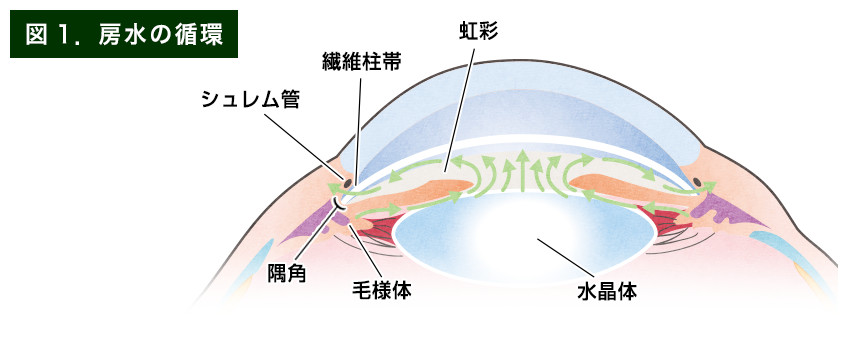 【画像】房水の循環