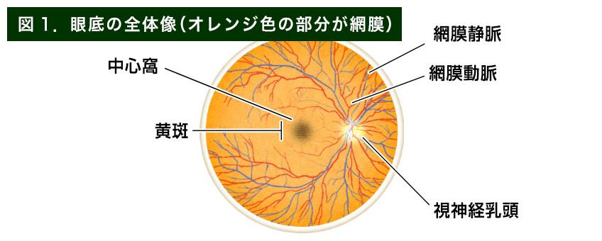 【画像】眼底の全体像