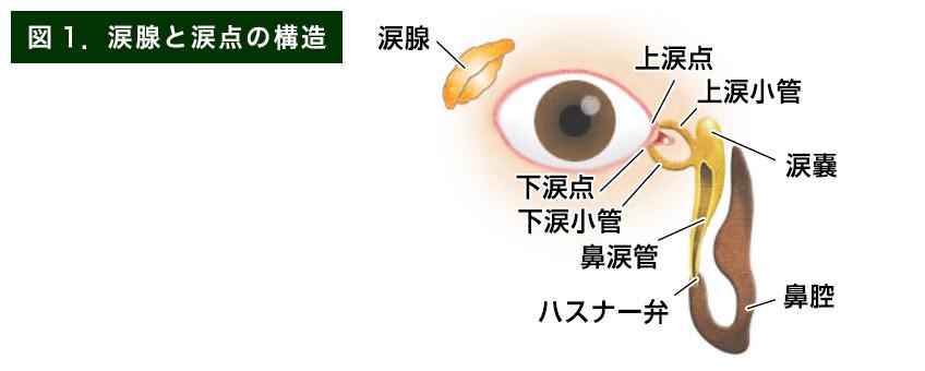 【画像】涙腺と涙点の構造