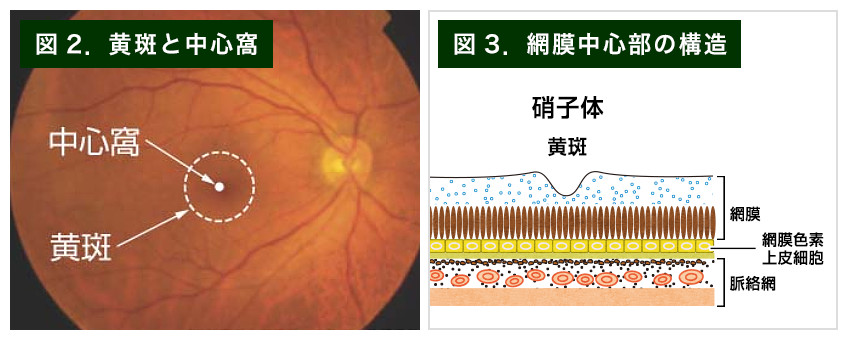 【画像】黄斑の写真、網膜中心部の構造図